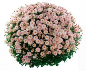 Хризантема Gigi Pink
