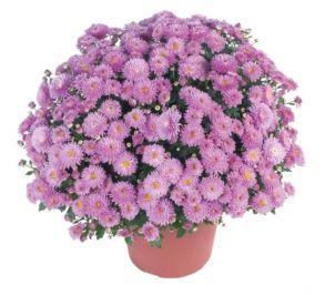 Хризантема Braque Pink