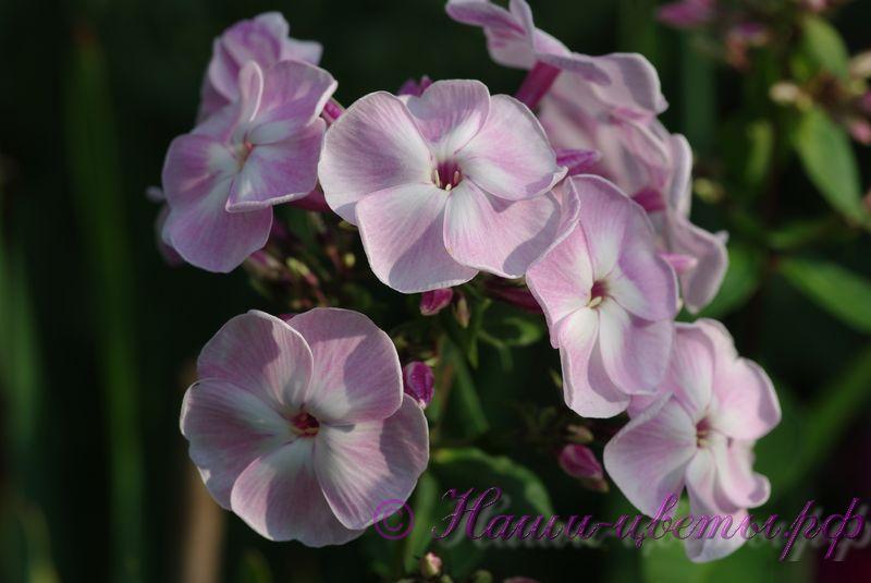 Флокс осенний букет, оригинальные букеты цветов