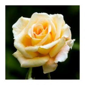 Отдушка «Чайная роза »