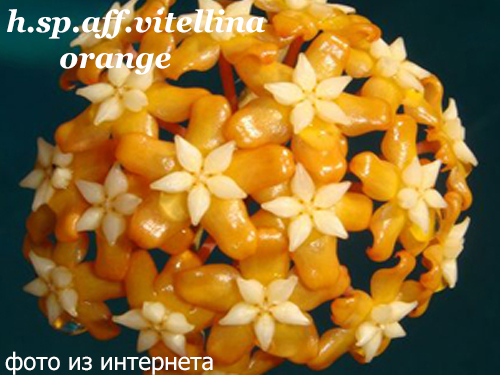 hoya sp.aff.vitellina (orange flower)