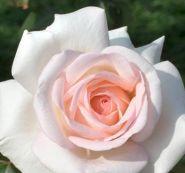 Роза чайно-гибридная Александр Пушкин