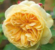 Роза плетистая Тизинг Джорджия, Д.Остин