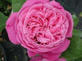 Роза парковая Поль Нейрон