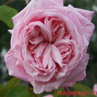 Блоссомтайм (Blossomtime)