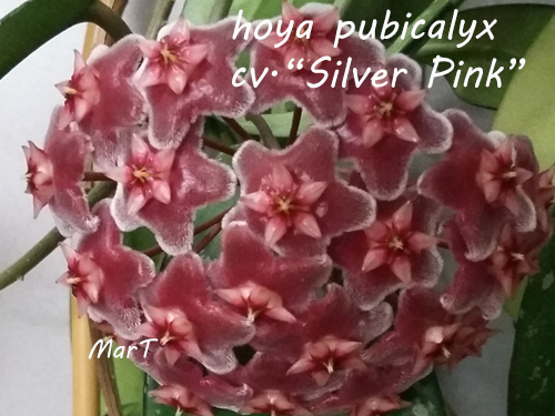 "hoya pubicalyx cv. ""Silver Pink"""