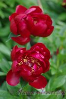 Пион травянистый 'Блэк Бьюти' / Paeonia 'Black Beauty'
