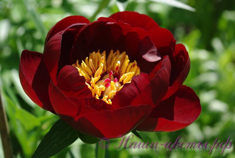Пион травянистый 'Блэк Бьюти' / Paeonia 'Black Beauty' '