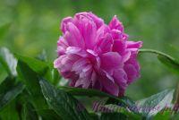 Пион травянистый 'Голубой нефрит' / Paeonia 'Goluboi Nefrit'