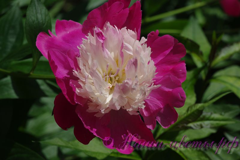 Пион травянистый 'Кора Стаббс' / Paeonia 'Cora Stubbs'