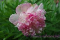 Пион травянистый 'Мутабилис Плена' / Paeonia'Mutabilis Plena'