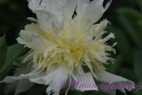 Пион травянистый 'Топ Брасс' / Paeonia 'Top Brass'