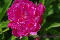 Пион травянистый 'Форель' / Paeonia 'Forel'