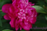 Пион травянистый 'Чери Роял' / Paeonia 'Cherry Royal'
