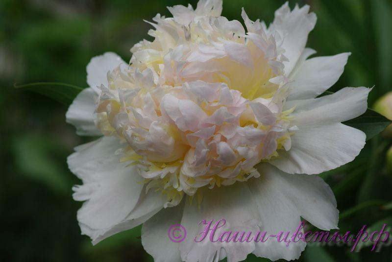 Пионтравянистый'Ханна Голд' / Paeonia 'Honey Gold'