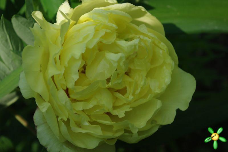 Пион гибридный 'Йеллов Краун' / Paeonia ITOH 'Yellow Crown'