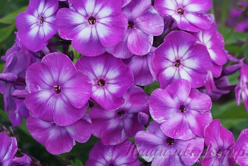 Флокс 'Литтл Лаура' / Phlox 'Little Laura'
