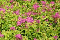 Спирея японская 'Голден Принцесс' / Spiraea japonica 'Golden Priincess'