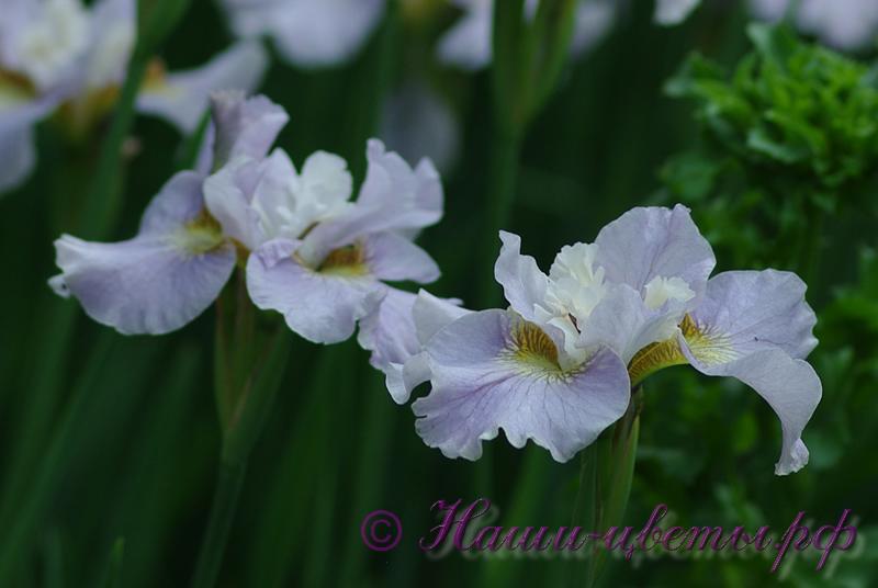 Ирис сибирский 'Рикуги Сакура' / Iris sibirica 'Rikugi Sakura'