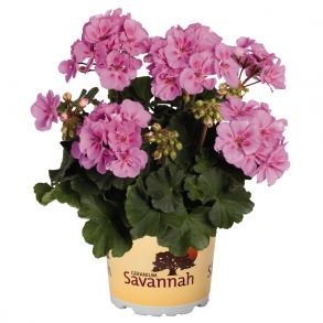 Пеларгония зональная Savannah Lavender Splash