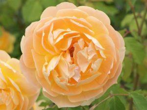 Розы Molineux (Молинью) кассета 84 шт