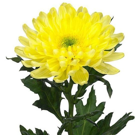 Хризантема желтая одноголовая 70 см высотой поштучно