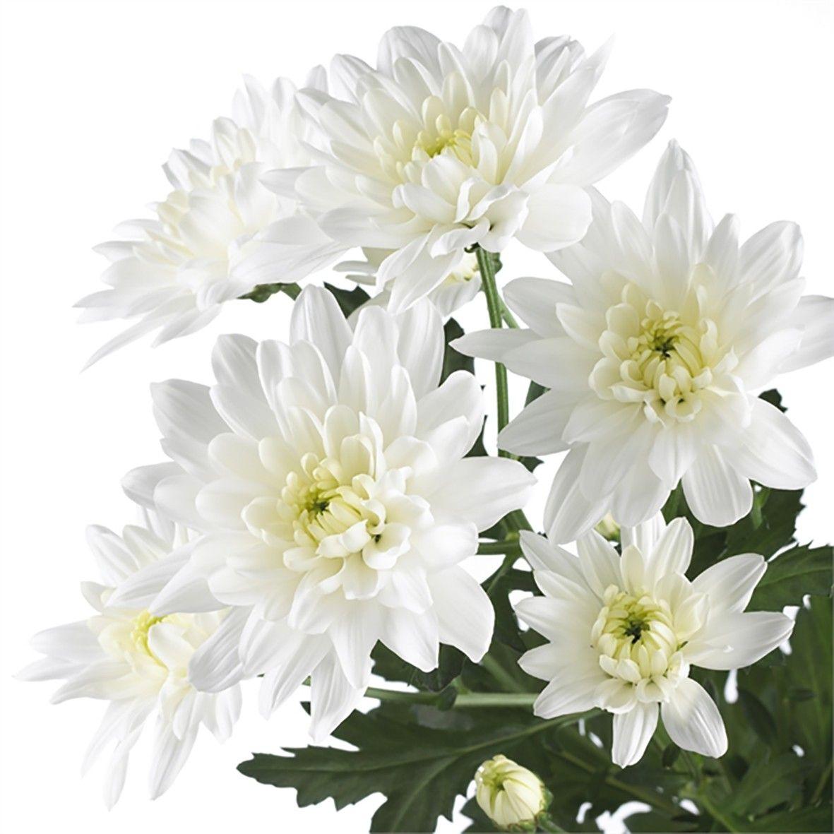 Хризантема белая кустовая 70 см высотой поштучно