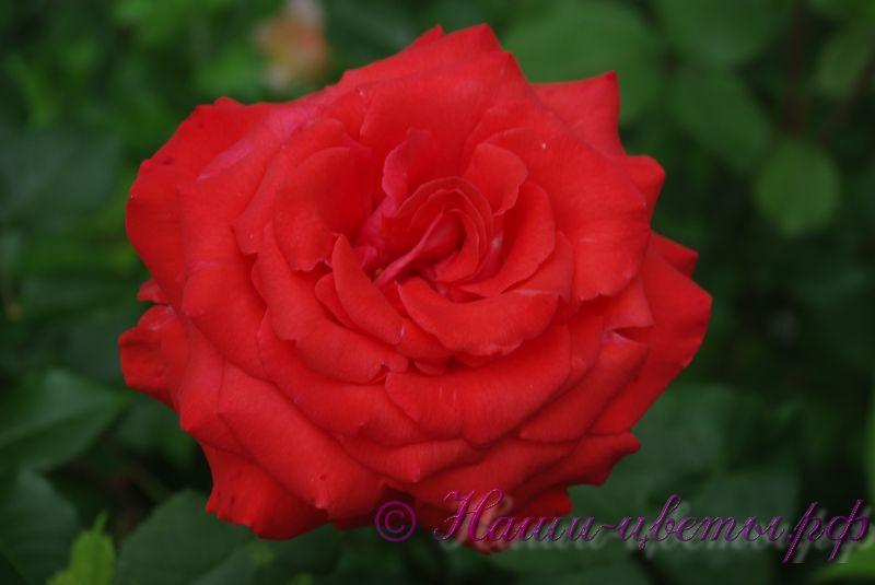 Роза 'Анжелика' / Rose 'Angelique'