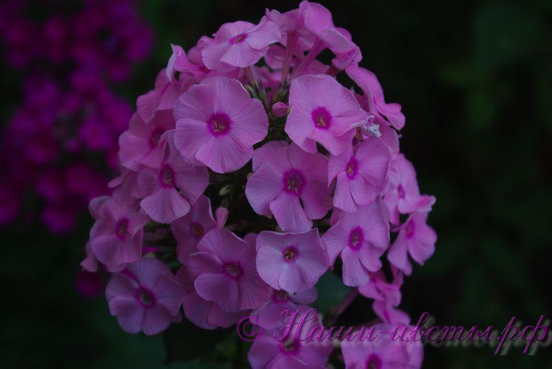 Флокс 'Джефф'с Пинк' /  Phlox 'Jeff's Pink'