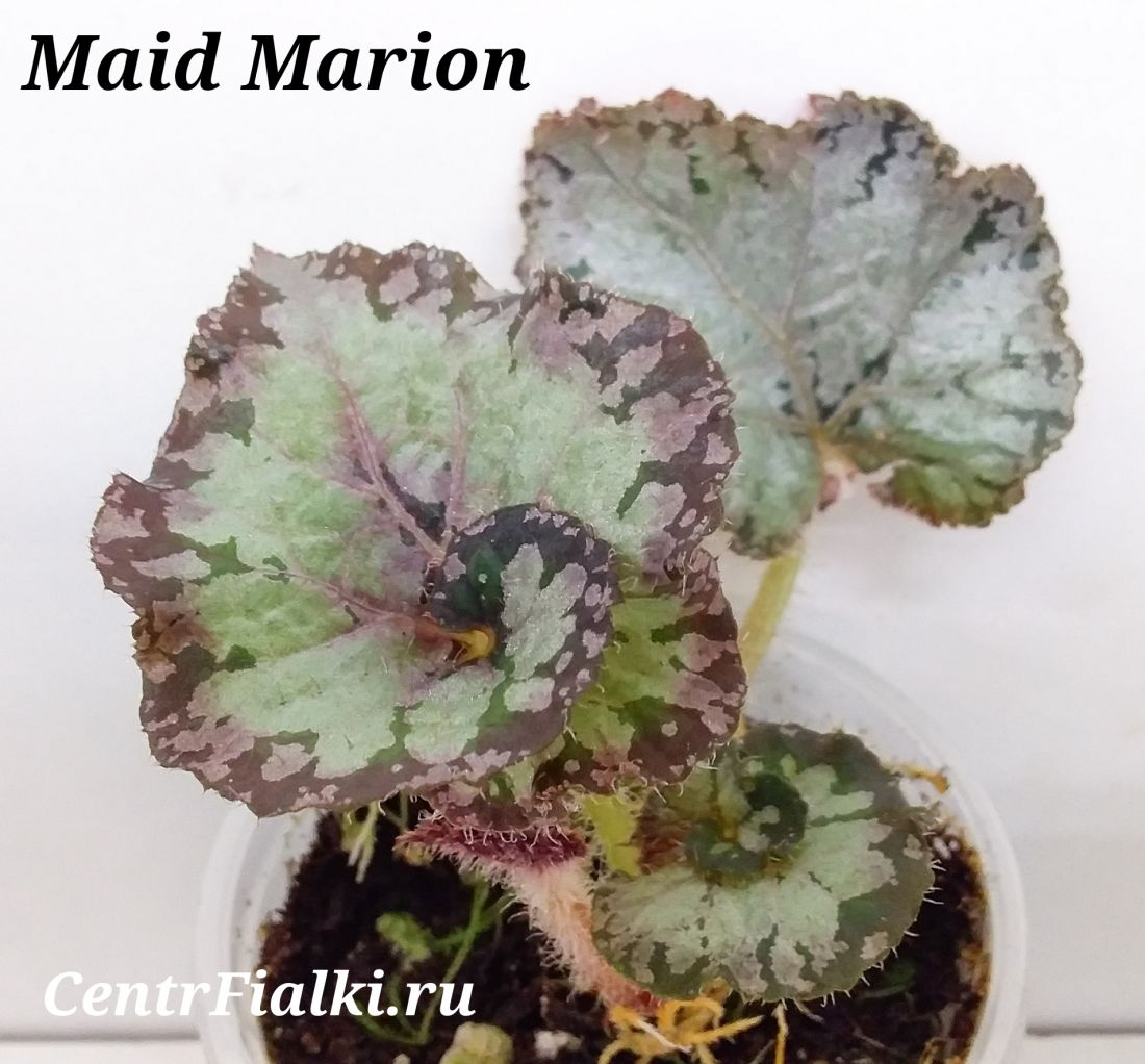 Begonia Maid Marion