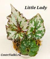 Бегония Little Lady