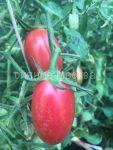 Tomat Setka rozovaya kollekcionnyj Myazinoj