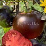 Tomat Sinij Blue OSU kollekcionnyj Myazinoj