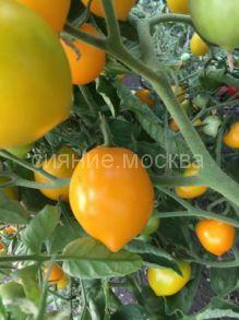 Томат Лимон-лиана Чудо света коллекционный Мязиной