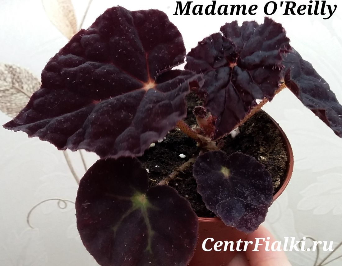 Begonia Madame O'Reilly
