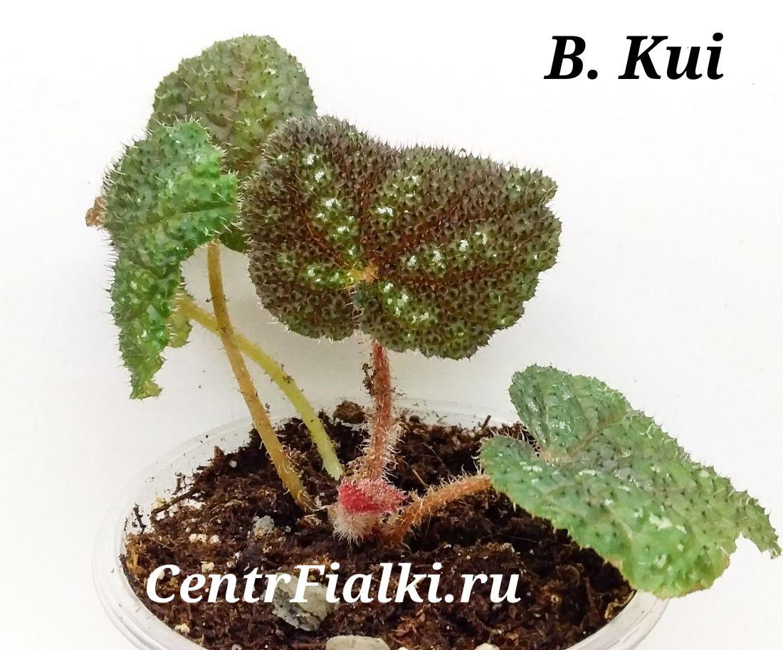 Begonia Kui