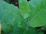 Семена табака сорт Калои 5