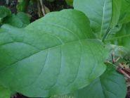 Семена табака сорт Дюбек 1118