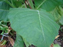 Семена табака сорт Калои 51