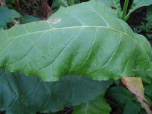 Семена табака сорт Американ 18
