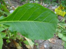 Семена табака Virginia Gold/USA
