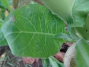 Семена табака сорт Virgin LK 245 (Вирджиния)