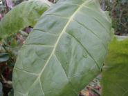 Семена табака сорт Virginia/Brazil