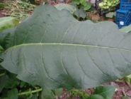 Семена табака сорт Virginia 355