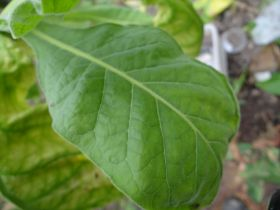 Семена табака сорт Virginia 724