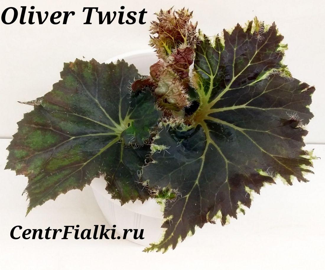 Begonia Oliver Twist