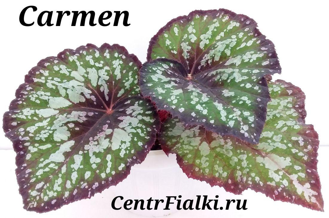 Begonia Carmen