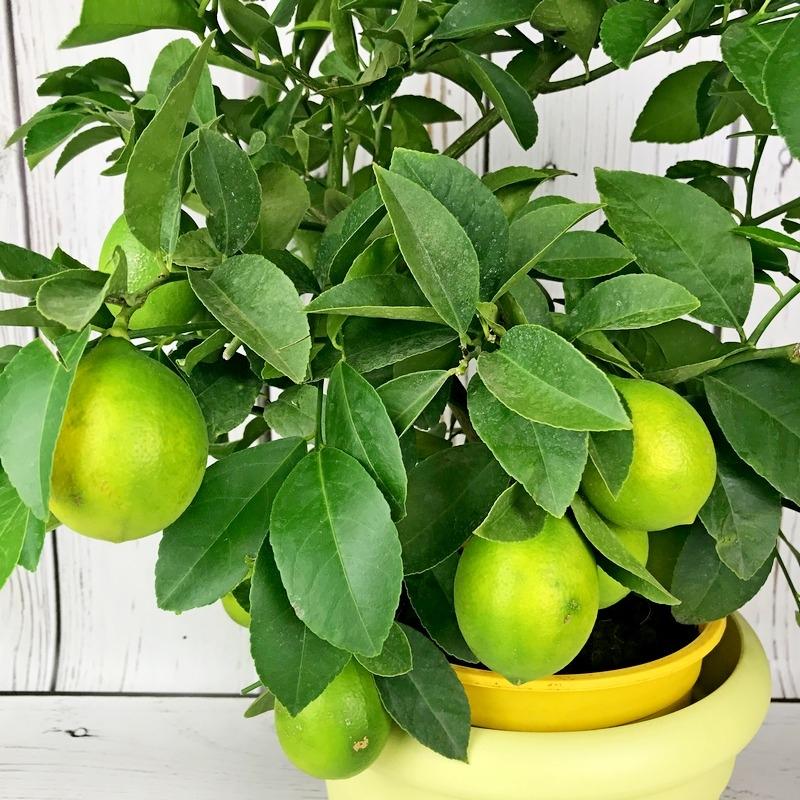 саженцы лимона меера