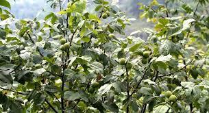 ореховый сад посадка