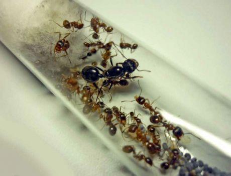 მოსავლელი ჭიანჭველები (Messor Structor),  დედოფალი + 10-35 მუშა ჭიანჭველა.